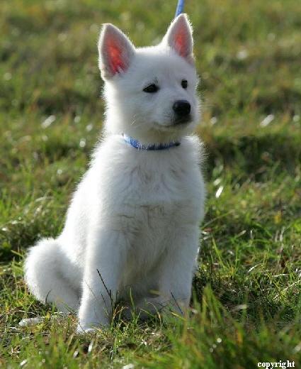Weisser Schaferhund Welpen Aktuell Kaufen